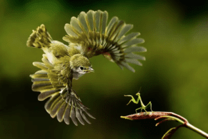 A Praying mantas about to fight a green bird